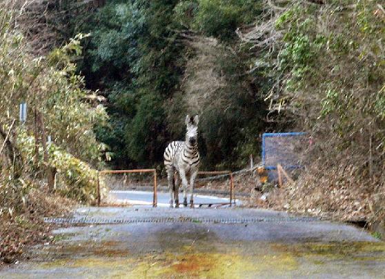 国道脇の山道で遭遇した逃走中のシマウマ。このあとゴルフ場に逃げ込んだ=愛知県瀬戸市片草町で2016年3月23日午前6時31分