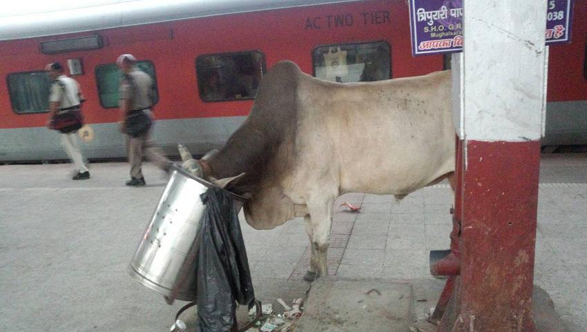 ミーママインド旅52駅のトレインの前でゴミを食べるバッファロー