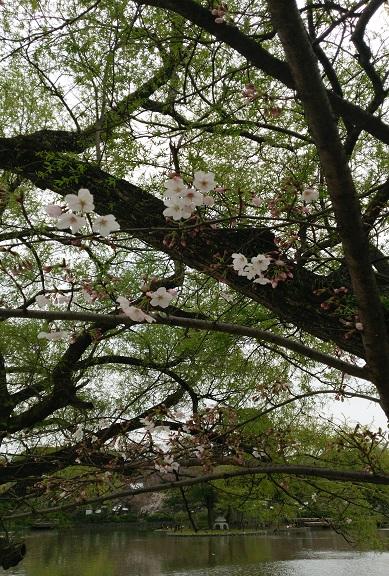 境内の桜」