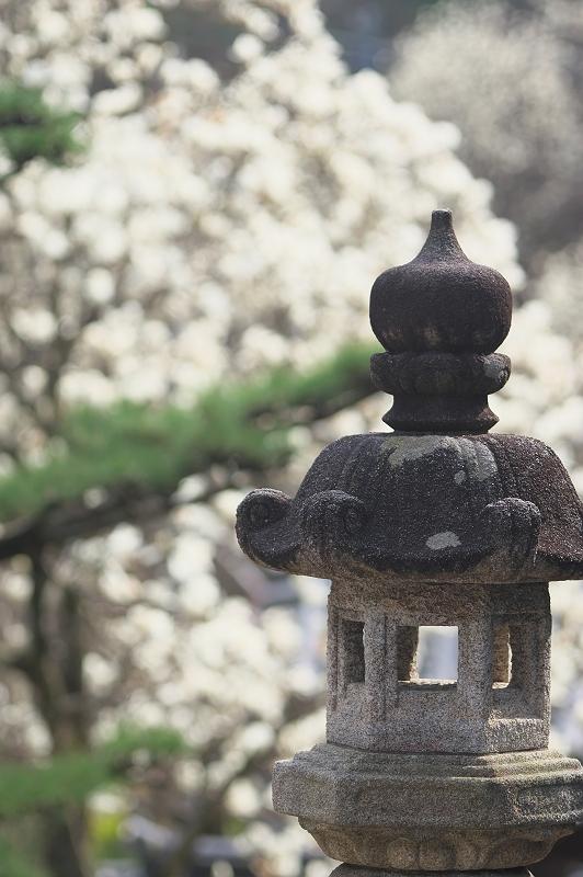 十輪寺の木蓮 1