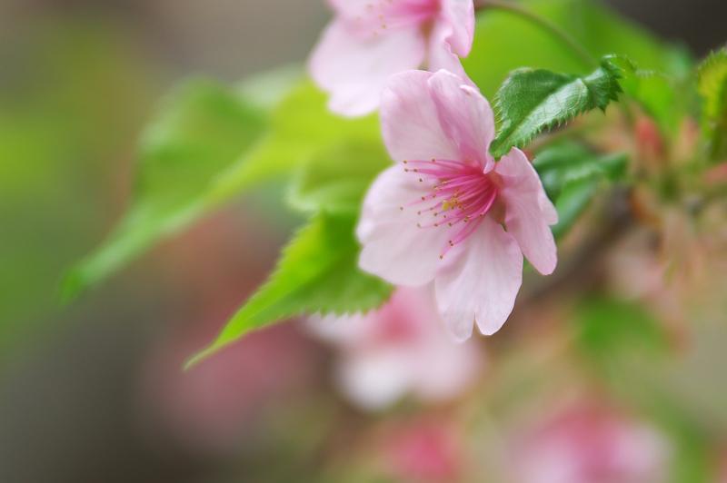 桃の花咲く棚田