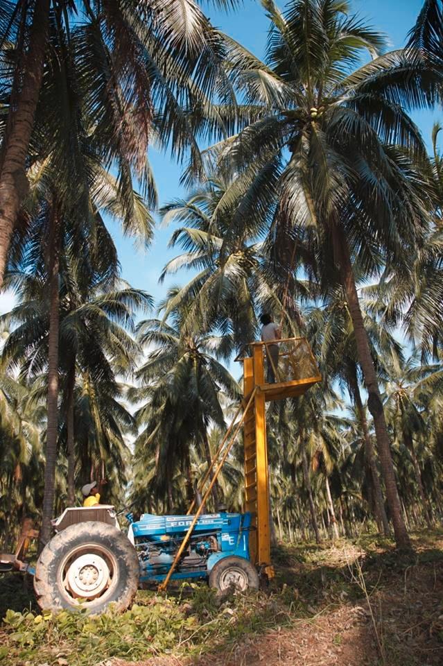 20151104ココナッツ収穫2