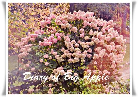 庭の木紫陽花