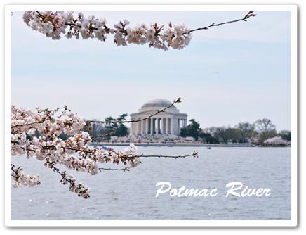 potmac riverの桜