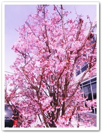 NJ街路樹の桜