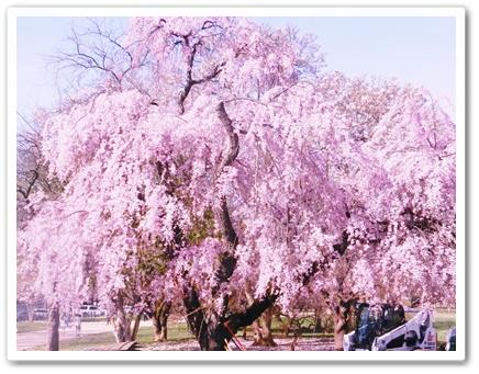 大木の枝垂れ桜
