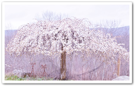 庭の枝垂れ桜