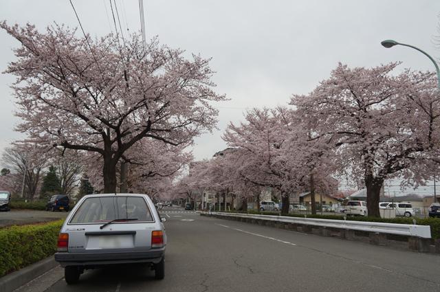 ファミリアと国立の桜並木