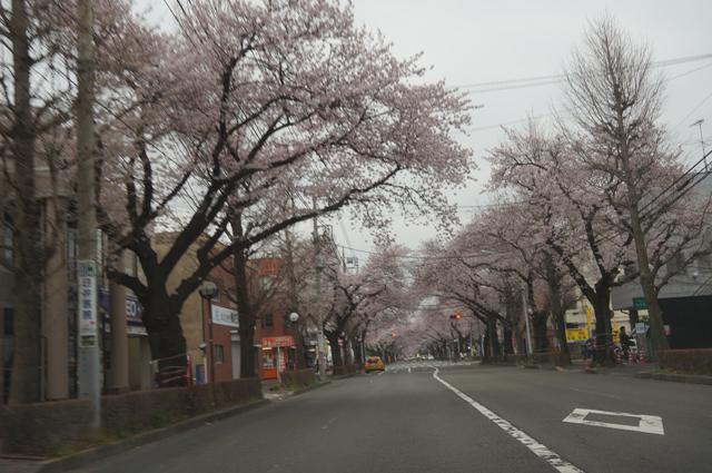 国立の桜並木2016