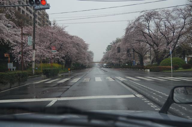 国立の桜並木