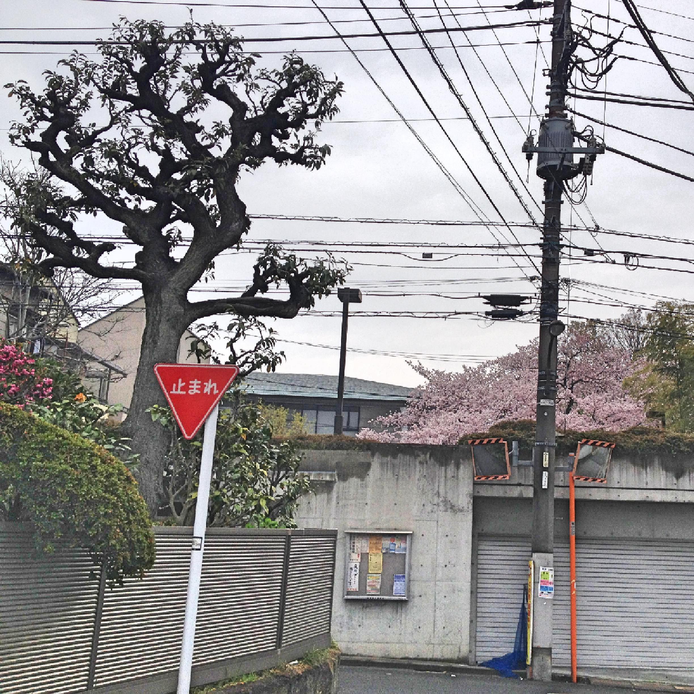 獅子吼教会桜遠景