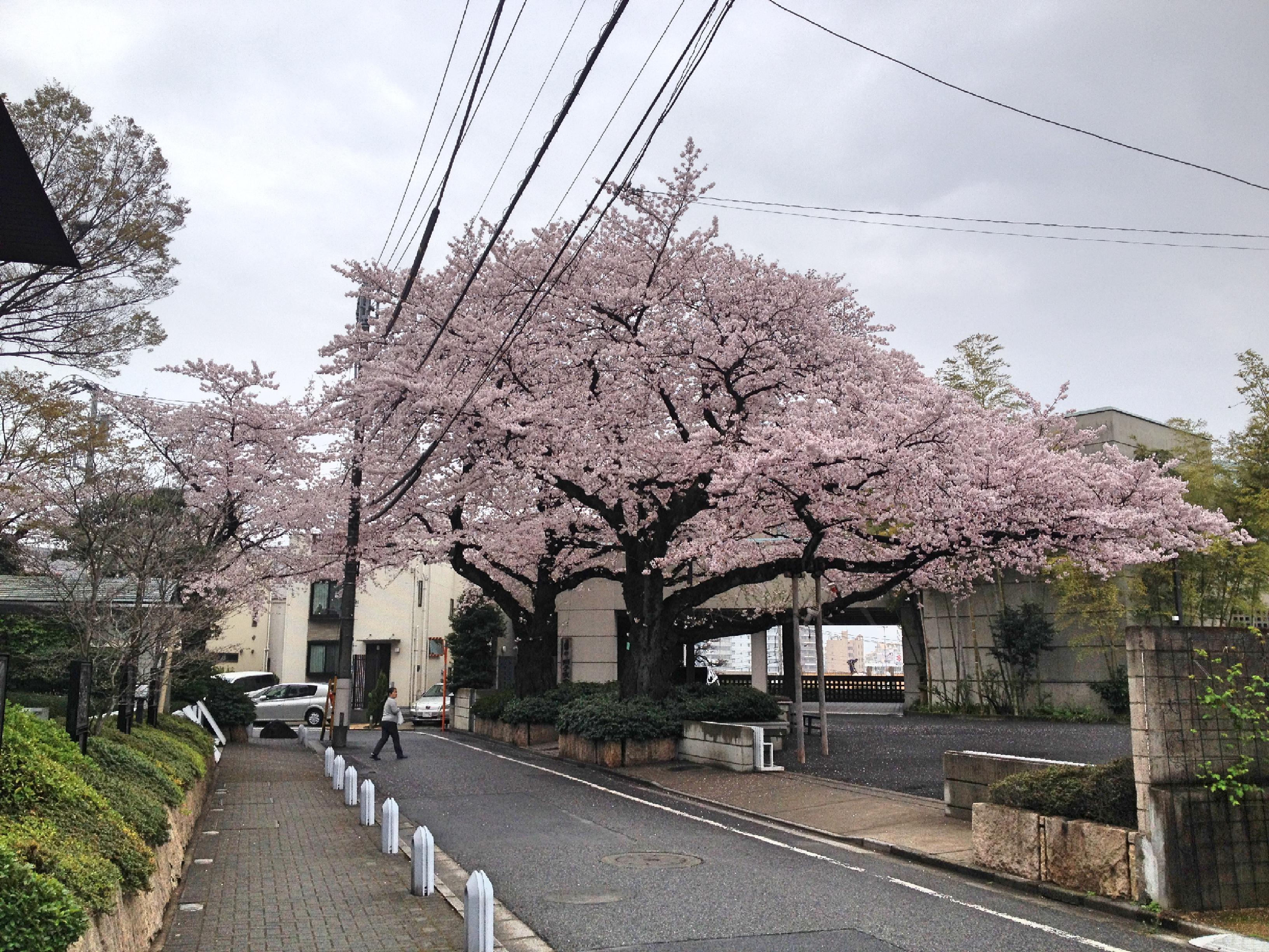獅子吼教会桜近景