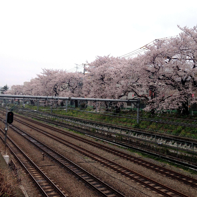 東中野土堤の桜
