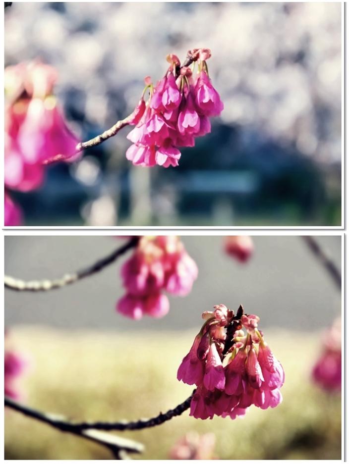 11寒緋桜