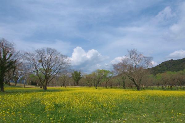 四万十川 入田ヤナギ林の菜の花