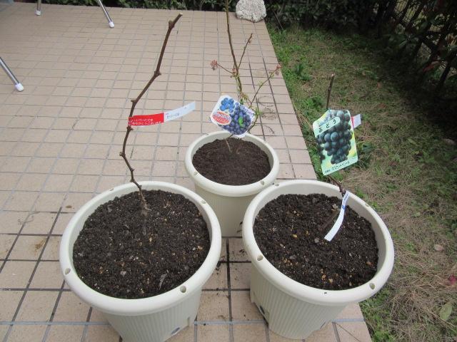 ブドウとブルーベリーの苗木