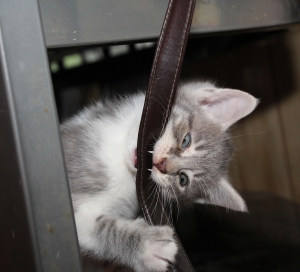 viciously playing kitten