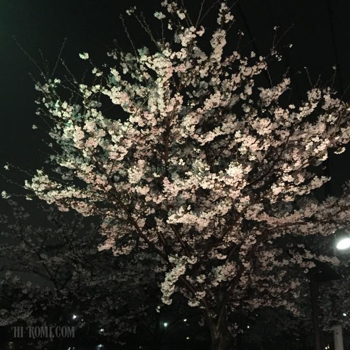 花見 桜 さくら