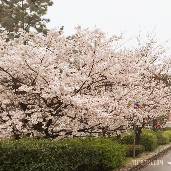 さくら 桜 花見