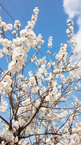 桜がキレイ♪