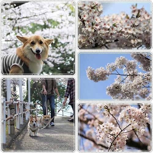 比治山桜2☆