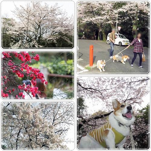比治山桜☆