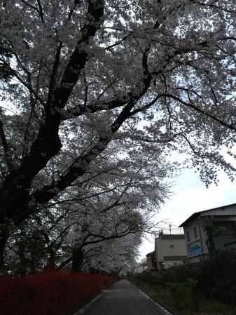 160405sakura.jpg