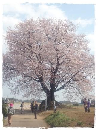 2016一本桜