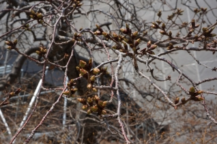 枝垂桜20