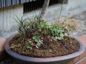 六角柳草盆栽 (1)
