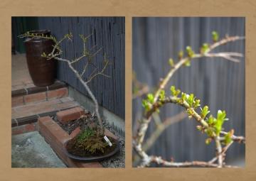 六角柳草盆栽 (2)