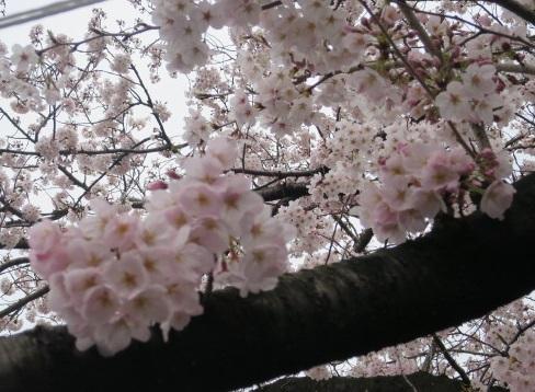 16-hanami10.jpg