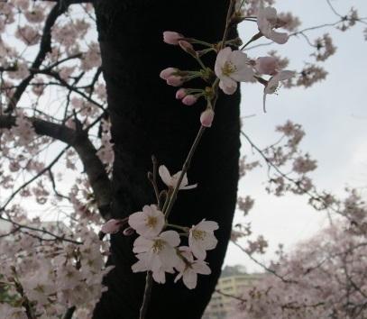 16-hanami3.jpg