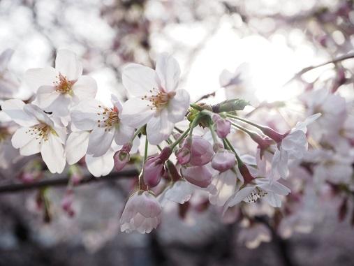 160331仙川の桜 (26)