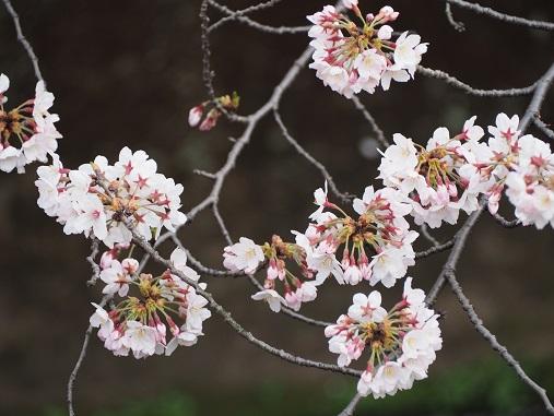 160331仙川の桜 (46)