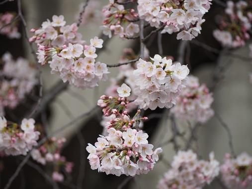 160331仙川の桜 (50)
