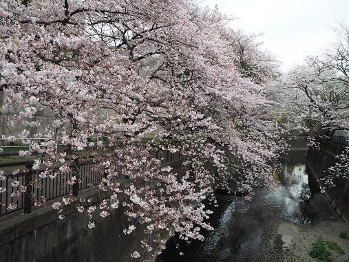 160331仙川の桜 (59)