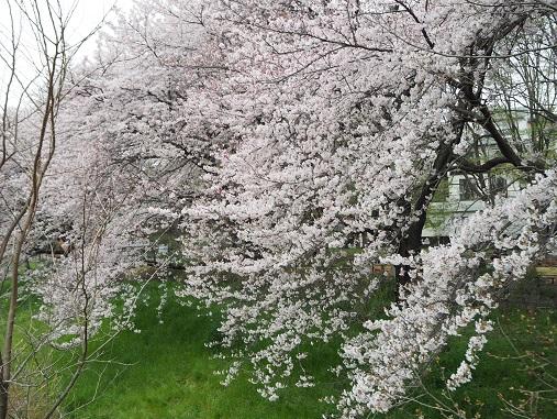 160403野川公園 (245)