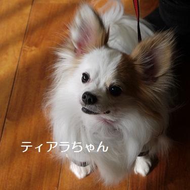 ティアラちゃん パピヨン