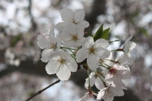 16鎌田池の桜1
