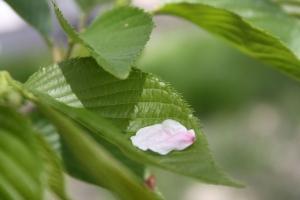 16鎌田池の桜2