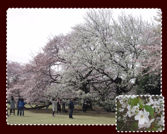 tokyo-sakura-3