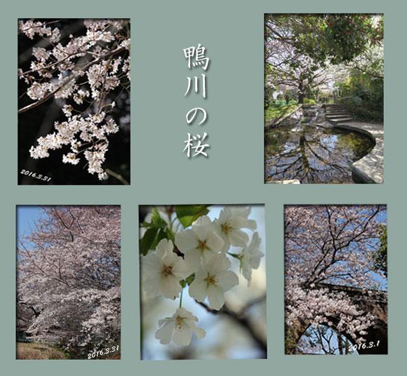 kamogawa-sakura-s.jpg