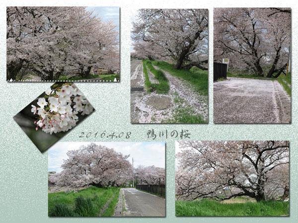 sakuratayori-3