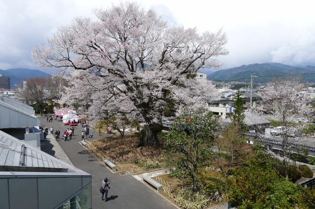 2014安富桜
