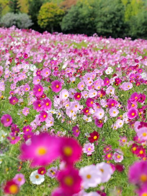 滝野すずらん公園コスモスフェスタ2015