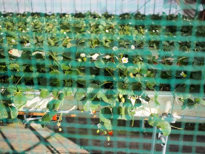 ビニルハウスでイチゴを栽培