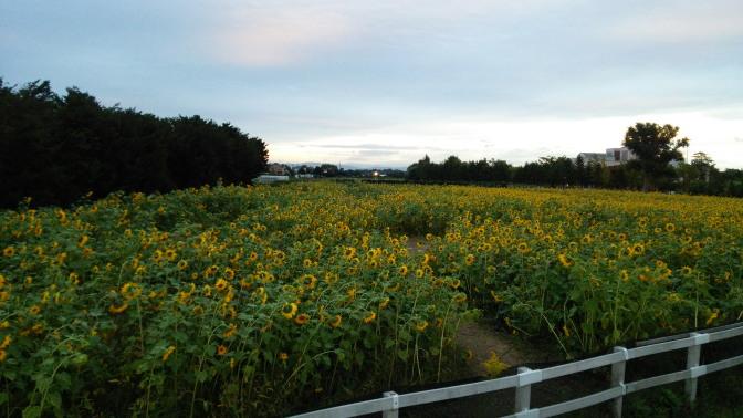 道の駅「花ロードえにわ」のひまわり畑2015