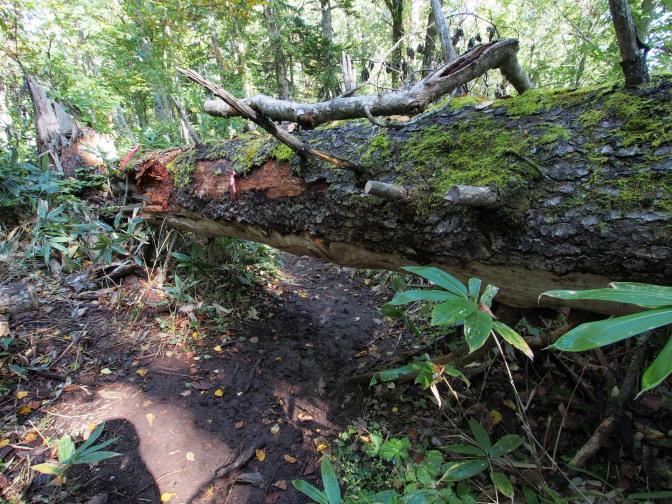 倒れた巨木で塞がれた登山道(これは9/11以前から)
