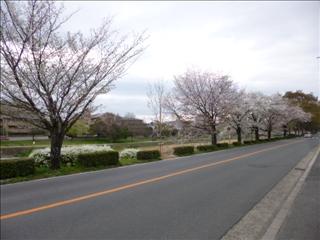 2016-04-03 さくら (6)